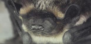 A quoi rêvent les chauves-souris ?